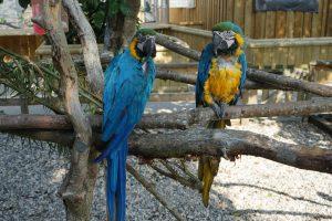 Two large blue parrots