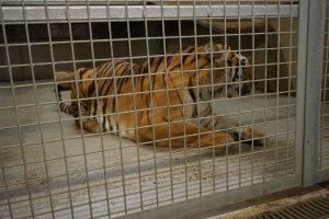 Tiger at Lincolnshire Wildlife Park