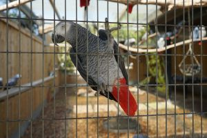 African grey parakeet